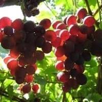 Продавам грозде - винени сортове - Мускат отонел,Каберне совиньон,Памид,Ркацители
