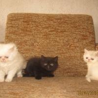 Персийски котета пълен екстремал