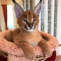 Разполагаме с котенца от Serval, котенца Savannah F1 и Caracal