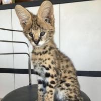 Нашите Serval, Savannah F1 и Caracal котенца са вече на разположение