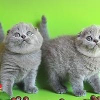 Продава котенца британски и шотландски