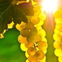 Продавам грозде -0.50лв.- винени сортове - Мускат отонел,Каберне совиньон,Памид,Ркацители